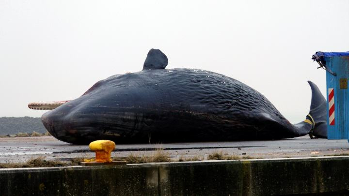 Toter Pottwal im nordfriesischen Wattenmeer