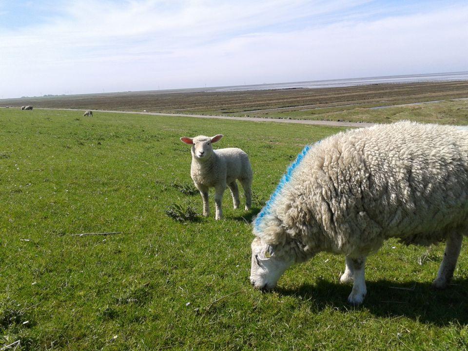Schafe auf Sylt
