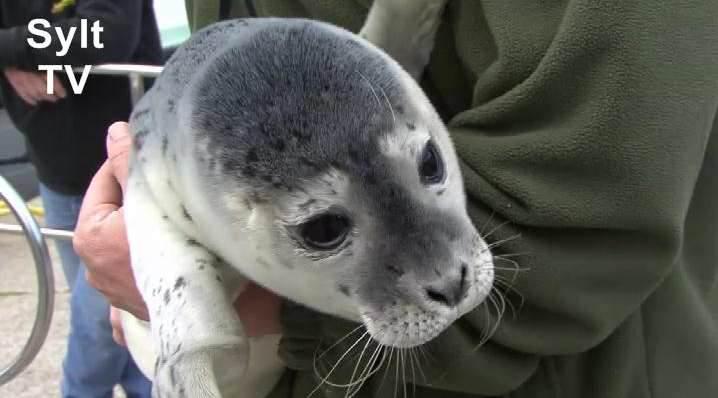 Seehundbaby auf Sylt